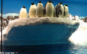 Say farewell to the Emperor Penguins! Fare-thee-well you cutie-patooties!