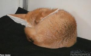 Fez-the-Fennec-Fox