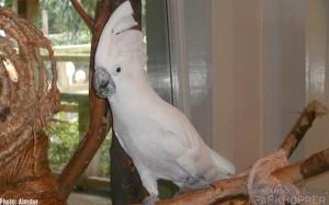 Paco-the-Cockatoo