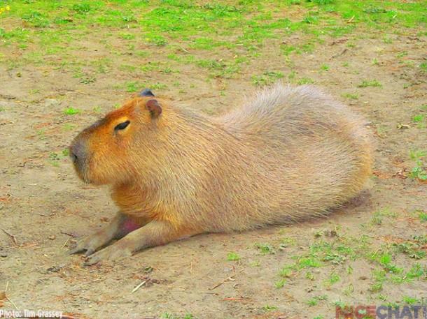 1-Capybara