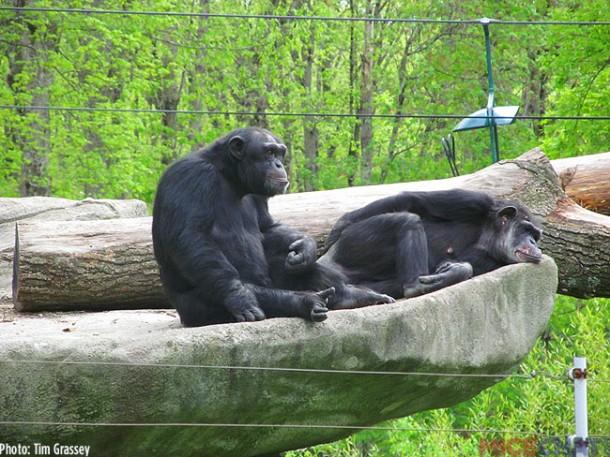 12-Chimpanzee