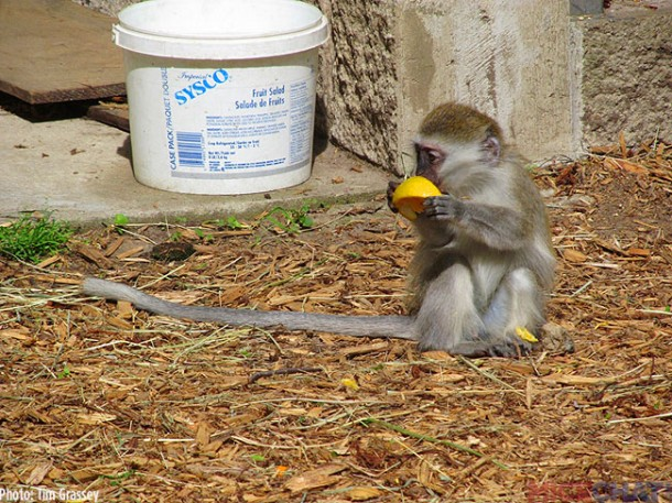 "One of the ""escaped"" baby monkeys."