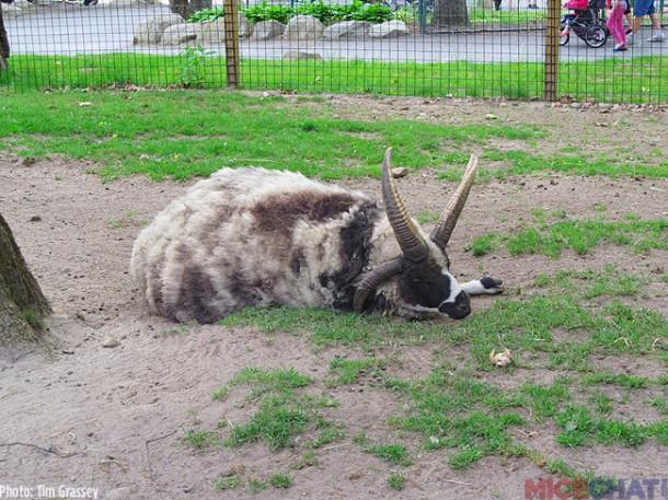 19-Jacob-Sheep