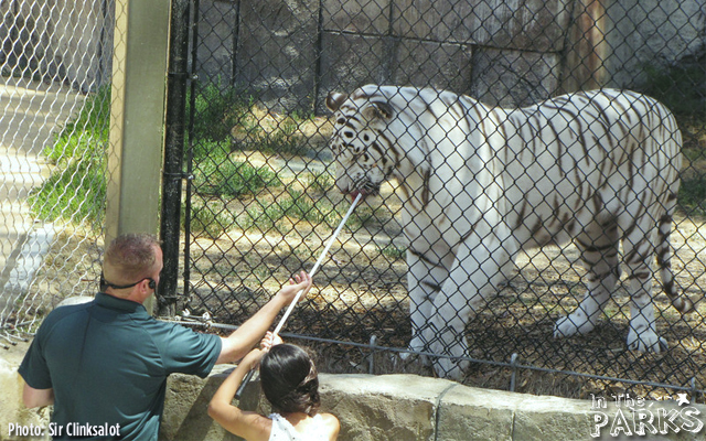 A brave audience member get's to feed one of the White Bengal Tigers