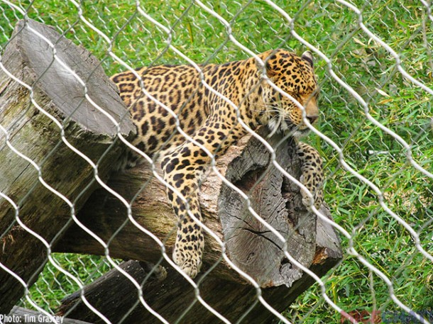 The African Leopard's name is Mowgli
