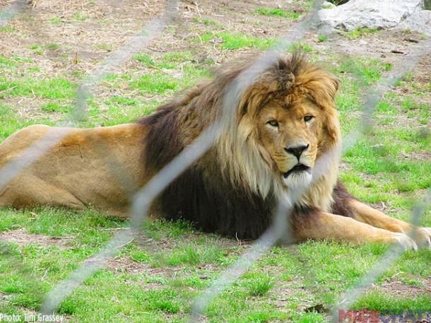 26-Lion