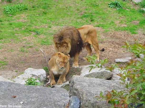 27-Lion