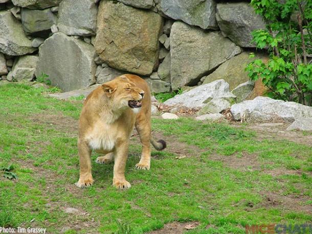 28-Lion