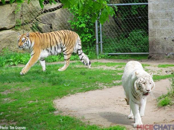 31-Tigers
