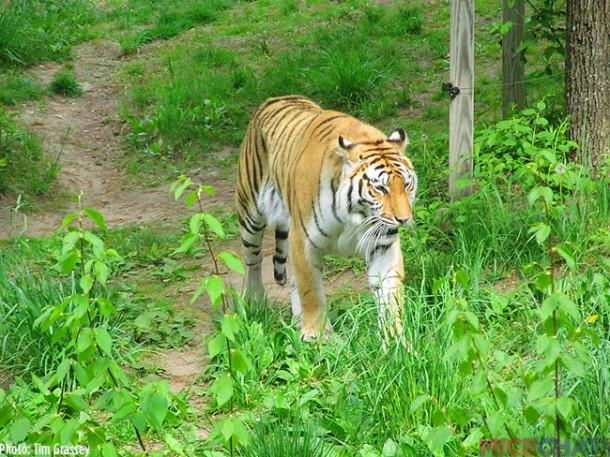 32-Tigers