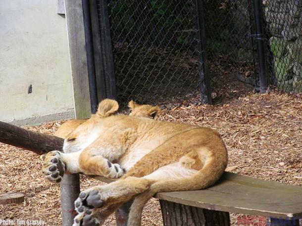 37-Baby-Lion