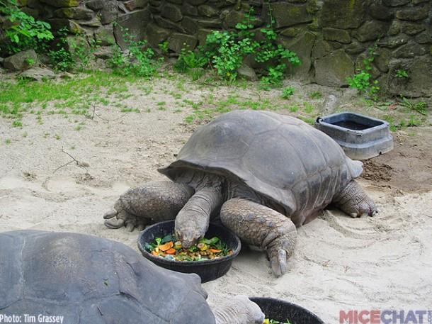 The zoo has a pair of Aldabra Giant Tortoises