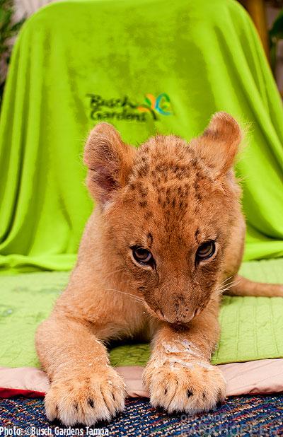 Lion-Cubs---Busch-Gardens-Tampa-2