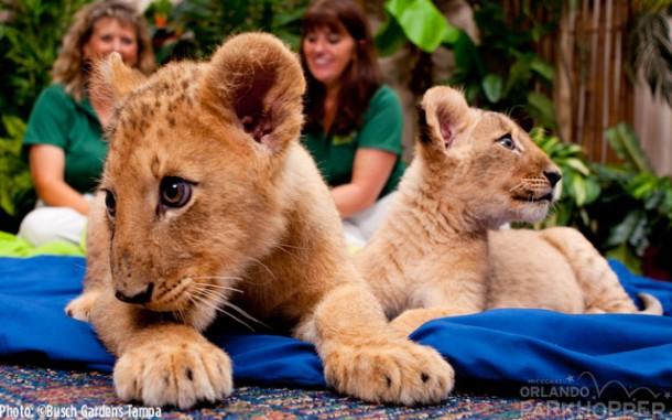 Lion-Cubs---Busch-Gardens-Tampa-3