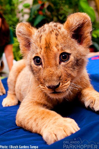 Lion-Cubs---Busch-Gardens-Tampa-4