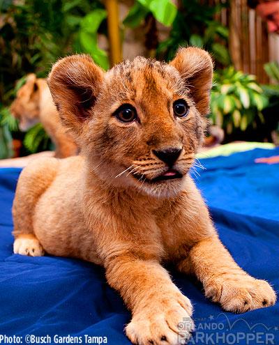 Lion-Cubs---Busch-Gardens-Tampa-5