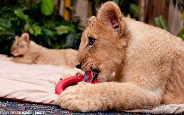 Lion-Cubs---Busch-Gardens-Tampa