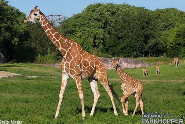 Busch-Gardens-Tampa---Baby-Giraffe