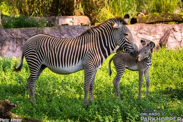 Grevys-Zebra-Born-at-Busch-Gardens-3