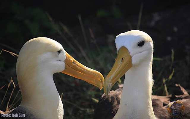 An Albatross couple discuss whatever interests them