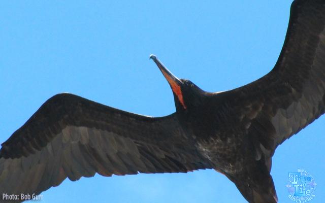 Frigate Birds can soar effortlessly for hours on light wind currents