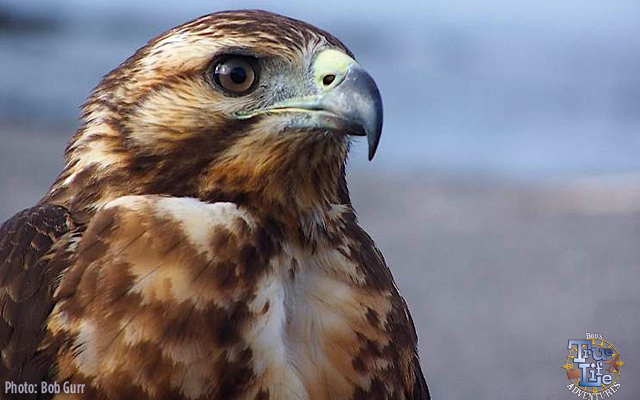 The Galapagos Hawk is right at the top of the food chain
