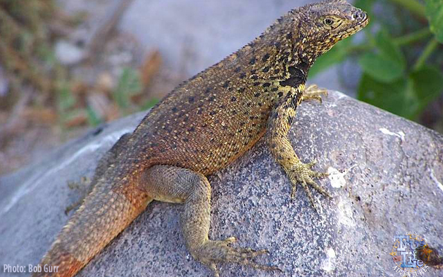 Lava Lizards are quite tame looking compared to the big iguanas