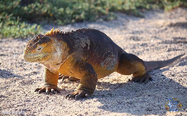 The colorful iguanas are seen in all sizes