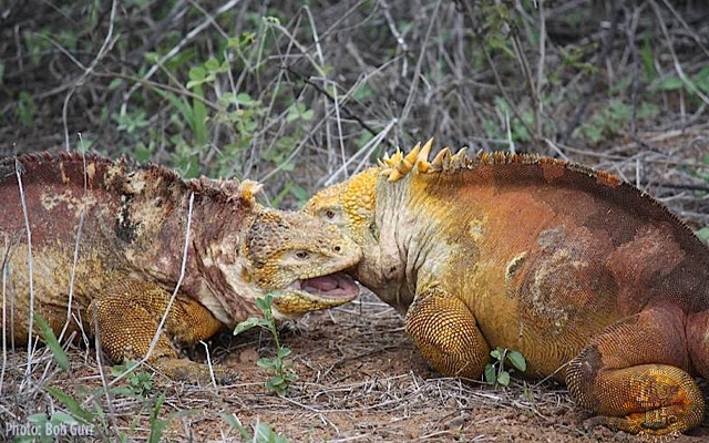 Two large male iguanas attempt to solve a territorial dispute