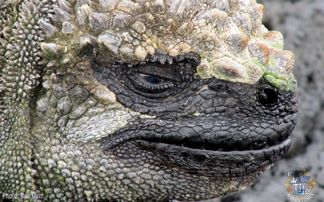 The sea iguana's hide utilizes a bird guano appearing camouflage