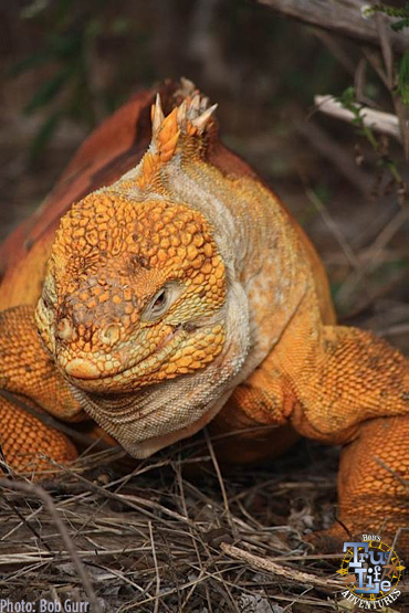 I found this big dude to be a giant classy top dog of the iguanas