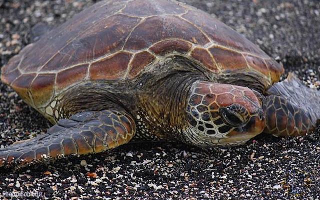 A Galapagos sea turtle