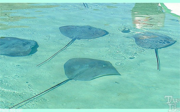 Moorea waters are filled with thousands of sting rays