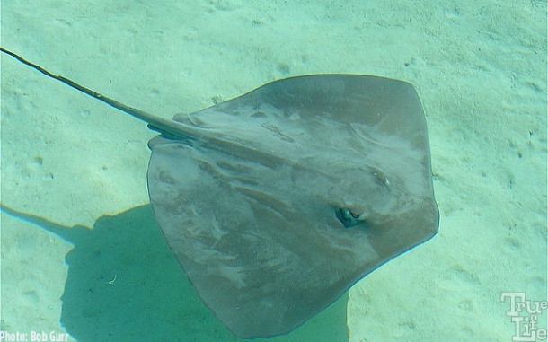 Sting rays glide right up to humans to get attention