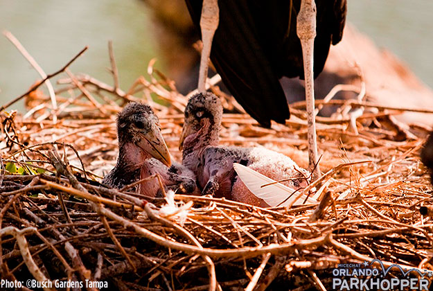 Marabou_Storks_at_Busch_Gardens_REBA_CHICKS_3