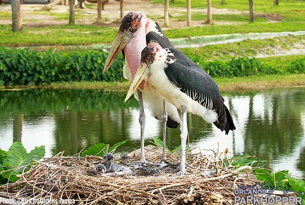 Marabou_Storks_at_Busch_Gardens_Tampa_-_Fig_Reba