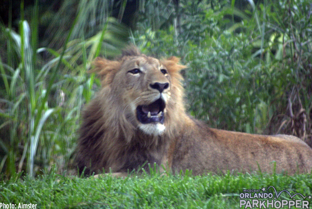 The lion cubs are now a year old. You can see Kembe's mane is growing in nicely.