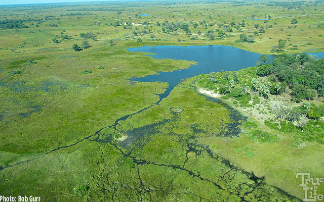 Much of the Okavango Delta is lush wetlands in addition to dry savannah