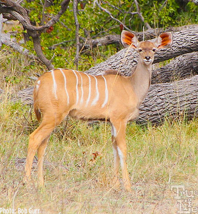 Female kudus have incredibly colorful large ears for predator detection