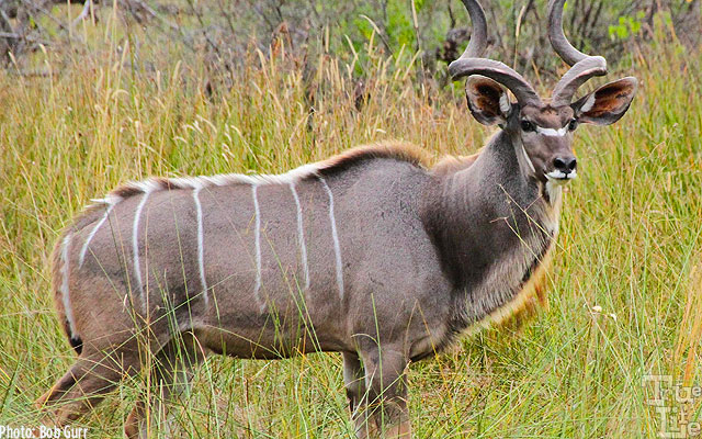 Male kudus are spectacular with their twisted horns and large neck manes
