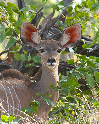 The female kudu is such a gorgeous creature with her fantastic ears