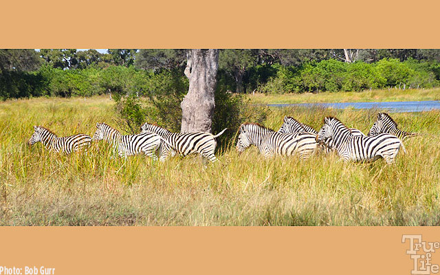 Zebras travel in herds for protection - they a bit timid around humans