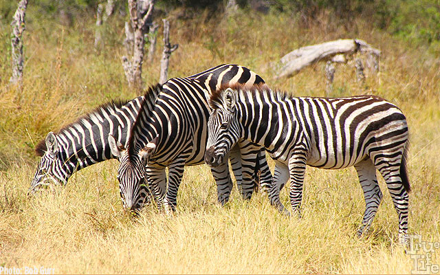 Every zebra has a completely unique stripe pattern for easy identification