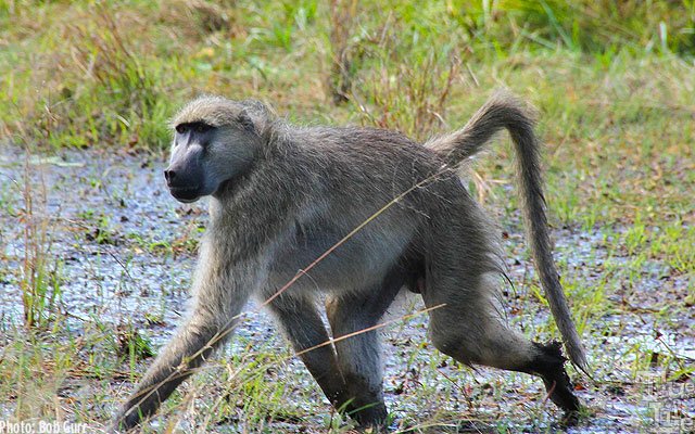 The African grey footed baboon is found everywhere in Botswana