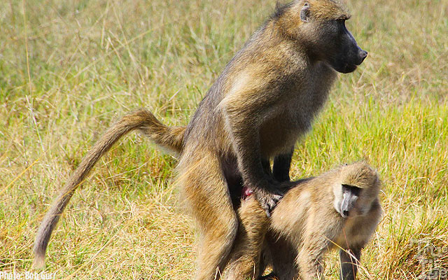 These baboons prove that the the Circle of Life must always be continued