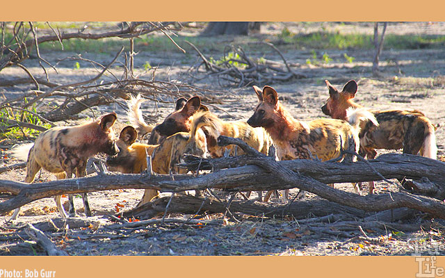 Colorful African wild dogs are highly social with great organizational skills