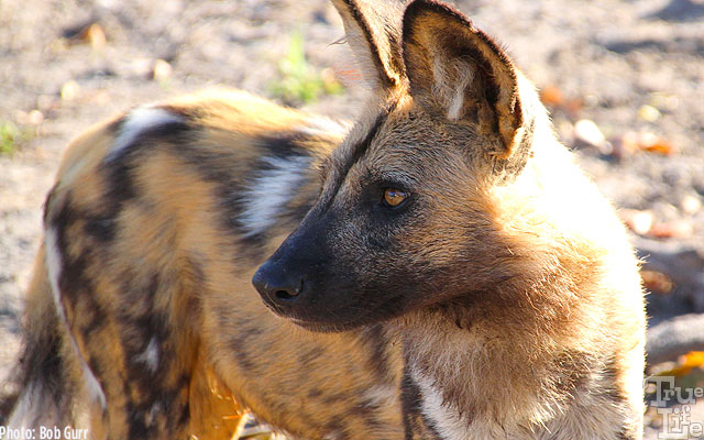 Wild dogs both approach vehicles and completely ignore human presence