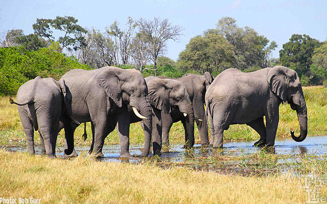 African elephants are so magnificent both in size and imposing activity