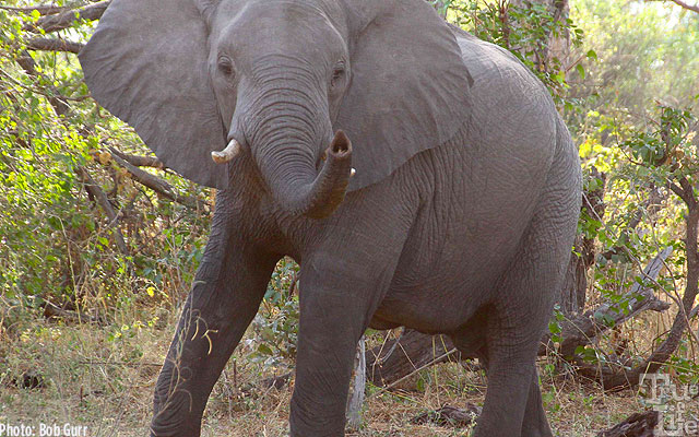 Female elephants are very firm in how close they will allow humans to be