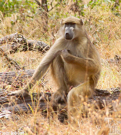 Baboons seem to be very active and always on the move with big families